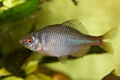 Fish cyprinidae  (Rhodeus amarus) Royalty Free Stock Image