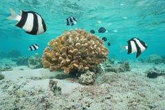 Fish damselfish with coral Moorea French Polynesia Stock Image