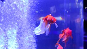 The goldfish is dancing. The fish is dancing goldfish stock video footage