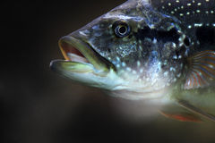 Fish on a dark background Stock Image