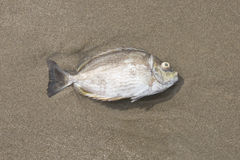 A fish dead on the beach Stock Image