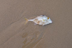 Fish dead on the beach.Copy space. Blacktail Tripod-fish dead on the sand.Copy space Royalty Free Stock Image