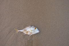 Fish dead on the beach.Copy space. Blacktail Tripod-fish dead on the sand.Copy space Royalty Free Stock Photography