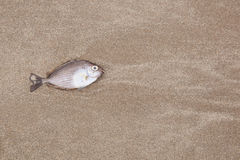 A fish is died on the beach. A fish is died on the beach and insects to eat Royalty Free Stock Image