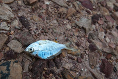Fish died on rock ground cracked earth / drought / river dried up /famine / scarcity / global warming / natural destruction Stock Image