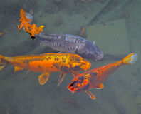 Fish of a different color in a pond Royalty Free Stock Image