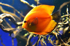 Fish discus orange floats deeply at the rocks, algae and branches. Horizontal photo, blue background Royalty Free Stock Image