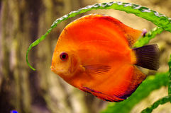 Fish Discus red. Animals theme Royalty Free Stock Images