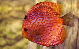 Fish Discus red 2 Stock Photos