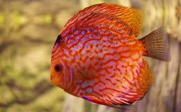 Fish Discus red 2 Stock Photos