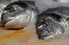 Fish dorado Stock Images