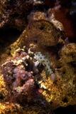 Fish. Dragonet mandarinfish (Synchiropus splendidus) swims over Stock Photos