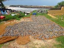 The fish dries ashore. Sri Lanka royalty free stock photography