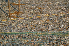 Fish Drying on the Ground Stock Photo