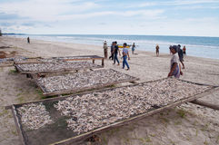 Fish drying. PADANG, INDONESIA - DEC 25, 2013: Fish drying on Tiku beach. Fishing is the main work in some villages. Fishermen pulling a fishing net about two Stock Photography