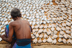 Fish drying in the sun. A Sri Lankan fisherman lays his fresh catch out to dry in the heat of the sun. Fish Market, Bentota, Sri Lanka. 24 Aug 2016 Royalty Free Stock Photos