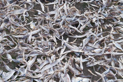 Fish drying Stock Photography