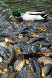 fish and duck feeding frenzy Royalty Free Stock Photo