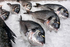 Fish dynamically lays among pieces of ice Stock Photography