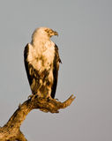 Fish Eagle Royalty Free Stock Images