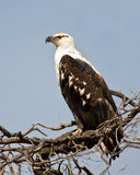 Fish Eagle. Immature Fish Eagle sit on a branch in the African sun Royalty Free Stock Photos