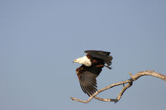 Fish Eagle Royalty Free Stock Photos