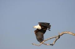 Fish Eagle. Take-off Royalty Free Stock Photos