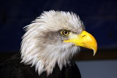 Fish Eagle. Portrait of a Fish Eagle royalty free stock photo