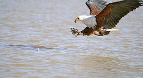 Fish Eagle. Preparing to strike a fish in the lake Stock Photo