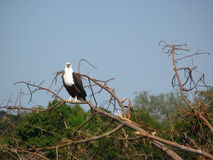 Fish Eagle on a branch Stock Photo