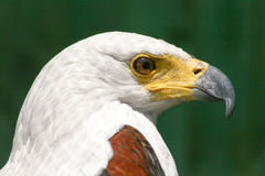Fish Eagle #1. Fish Eagle Cape Town South Africa Royalty Free Stock Image