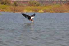 Fish eagle catching a fish royalty free stock photography