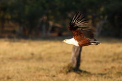 Fish Eagle - Chobe N.P. Botswana, Africa. African Fish Eagle in Chobe National Park, Botswana, Africa Stock Photography