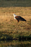 Fish Eagle - Chobe N.P. Botswana, Africa Royalty Free Stock Photography