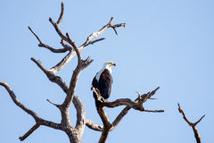 Fish Eagle - Chobe N.P. Botswana, Africa. African Fish Eagle in Chobe National Park, Botswana, Africa Royalty Free Stock Image