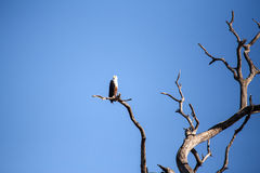Fish Eagle - Chobe N.P. Botswana, Africa Royalty Free Stock Images