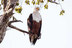 Fish Eagle - Chobe N.P. Botswana, Africa. African Fish Eagle in Chobe National Park, Botswana, Africa Royalty Free Stock Photos