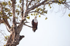 Fish Eagle - Chobe N.P. Botswana, Africa Stock Images