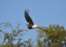 Fish eagle 2 Stock Photos