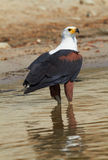 Fish Eagle Stock Photos