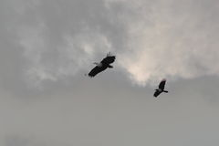 Fish eagle and Crow flight Royalty Free Stock Images
