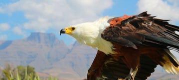Fish Eagle, Eagle, Bird Stock Images