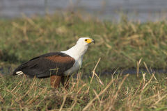 Fish eagle feeding on fish Royalty Free Stock Image