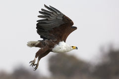 Fish eagle in flight Royalty Free Stock Photo