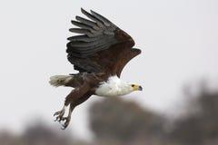 Fish eagle in flight royalty free stock photo