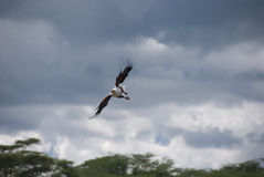 Fish Eagle Flying royalty free stock images