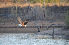 A fish eagle. Flying over water as the sun begins to set Royalty Free Stock Photo