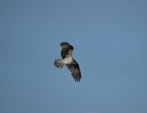 Fish Eagle Flying in the Sky Royalty Free Stock Photos