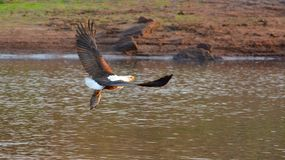 Fish eagle with a fresh catch royalty free stock images