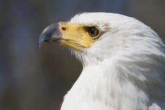 Fish eagle head Royalty Free Stock Photos